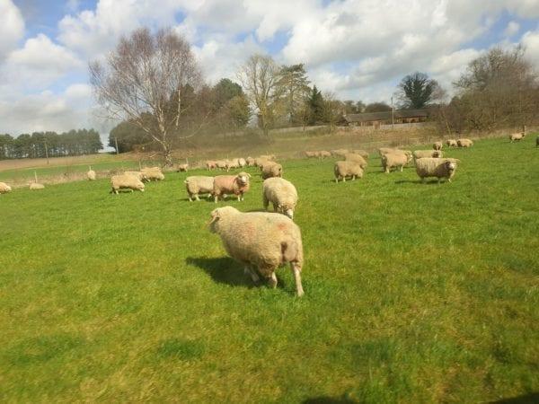 Wantisden lamb