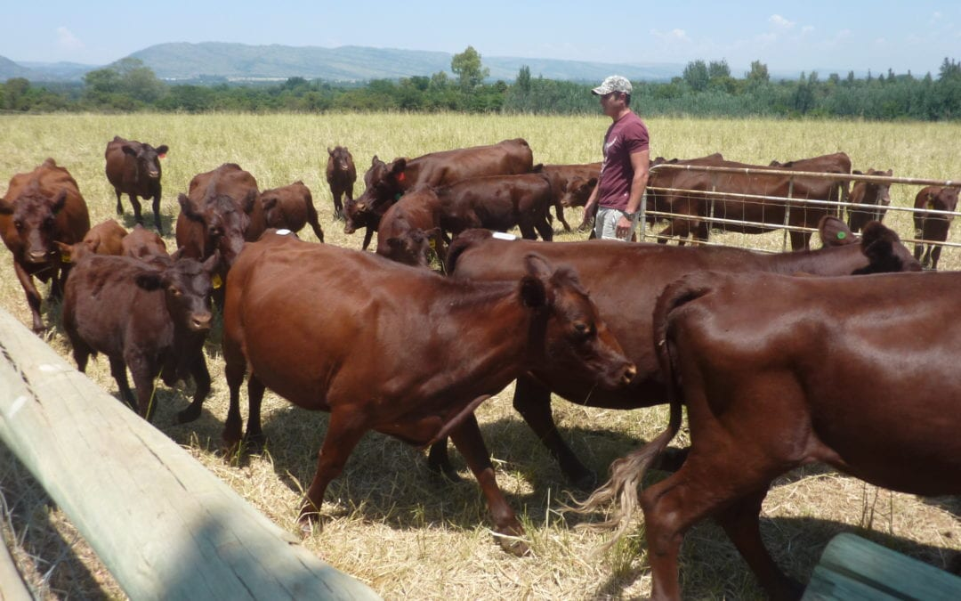 Our Red Polls take to the bushveld of South Africa